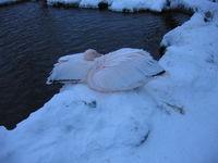 ノースサファリサッポロ モモイロペリカン/White(ROSY)Pelican
