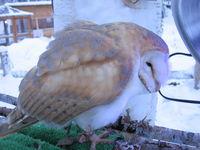ノースサファリサッポロ メンフクロウ/Barn Owl