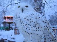 ノースサファリサッポロ シロフクロウ/ Snowy Owl
