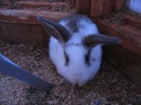 ノースサファリサッポロ ミニウサギ