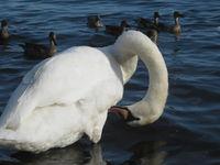 ウトナイ湖の白鳥
